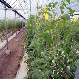 ミニトマトを栽培しているビニールハウスの様子