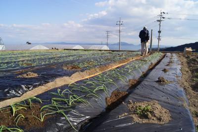 新玉ねぎの苗を植えました(定植)