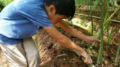 アスパラガスの収穫体験