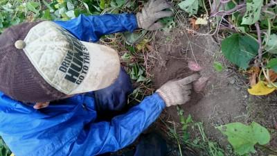 サツマイモを試し掘り致しました。