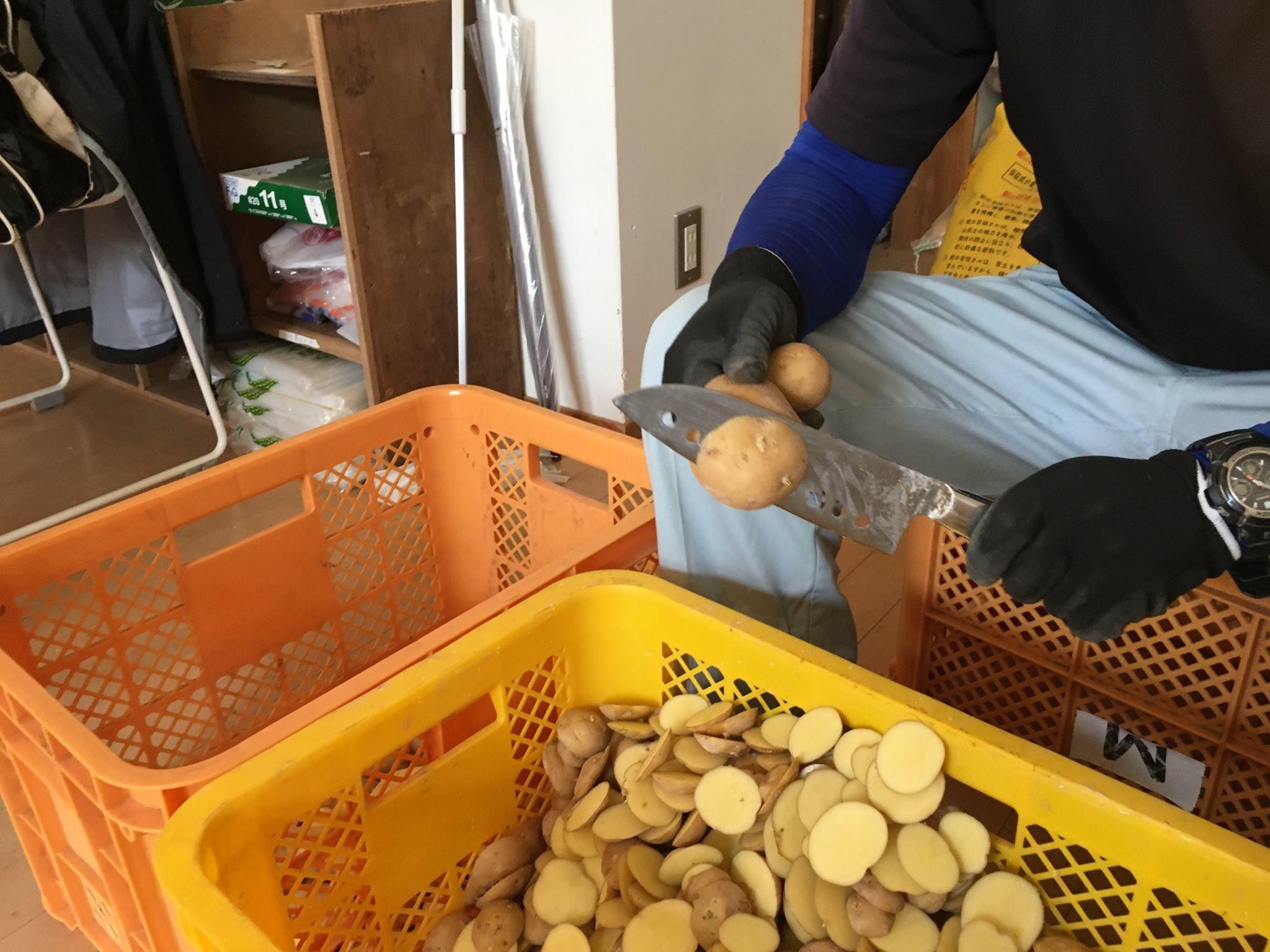 12月の収穫に向けて種芋切り、定植を行っています。