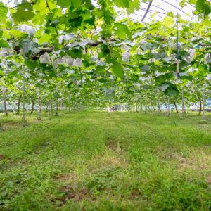 しっかりとしたハウスの中で栽培されているピオーネ<br /> 7月から本格出荷が始まります。