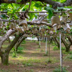 鳥や虫の被害、直射日光による焼けを防ぐため、梨を一つずつ手作業で袋がけしています。