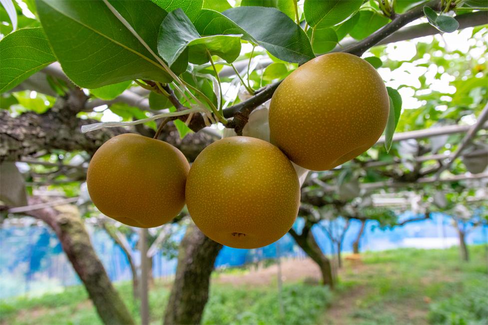 あきづきは「秋」に収穫出来る事、果実が丸く「月」のように見える事から名前が付けられました。