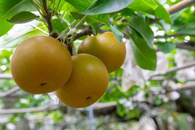 熊本県荒尾市産 梨の販売開始