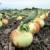 中島さんの新玉ねぎ収穫の様子
